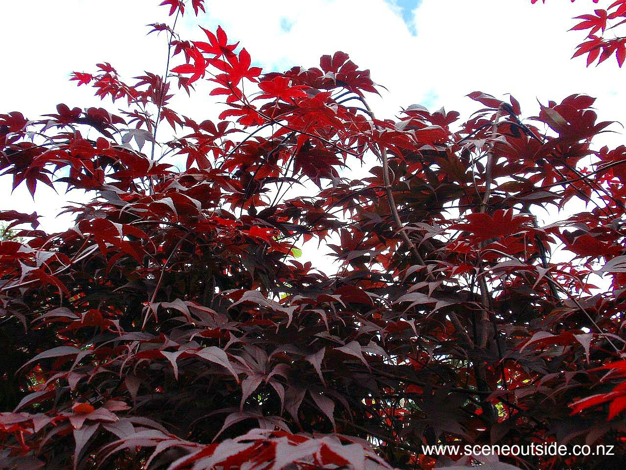 acer-palmatum-bloodgood-3.jpg