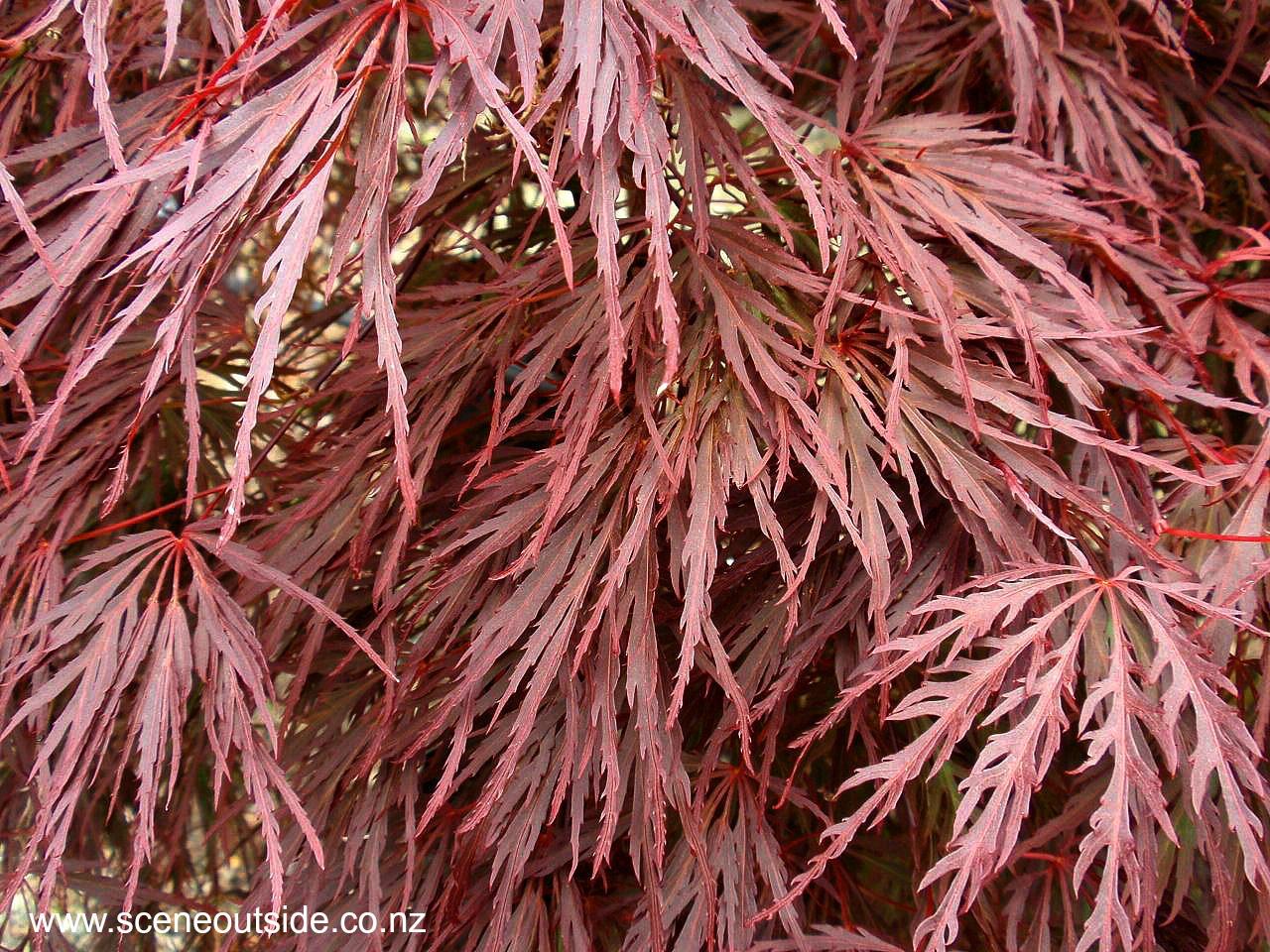 acer-palmatum-dissectum-crimson-queen.jpg