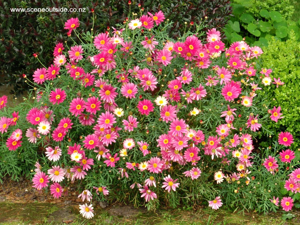 argyranthemum-double-act.jpg