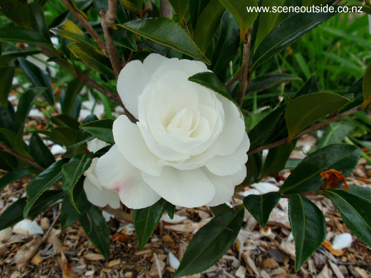 camellia-early-pearly-1.jpg