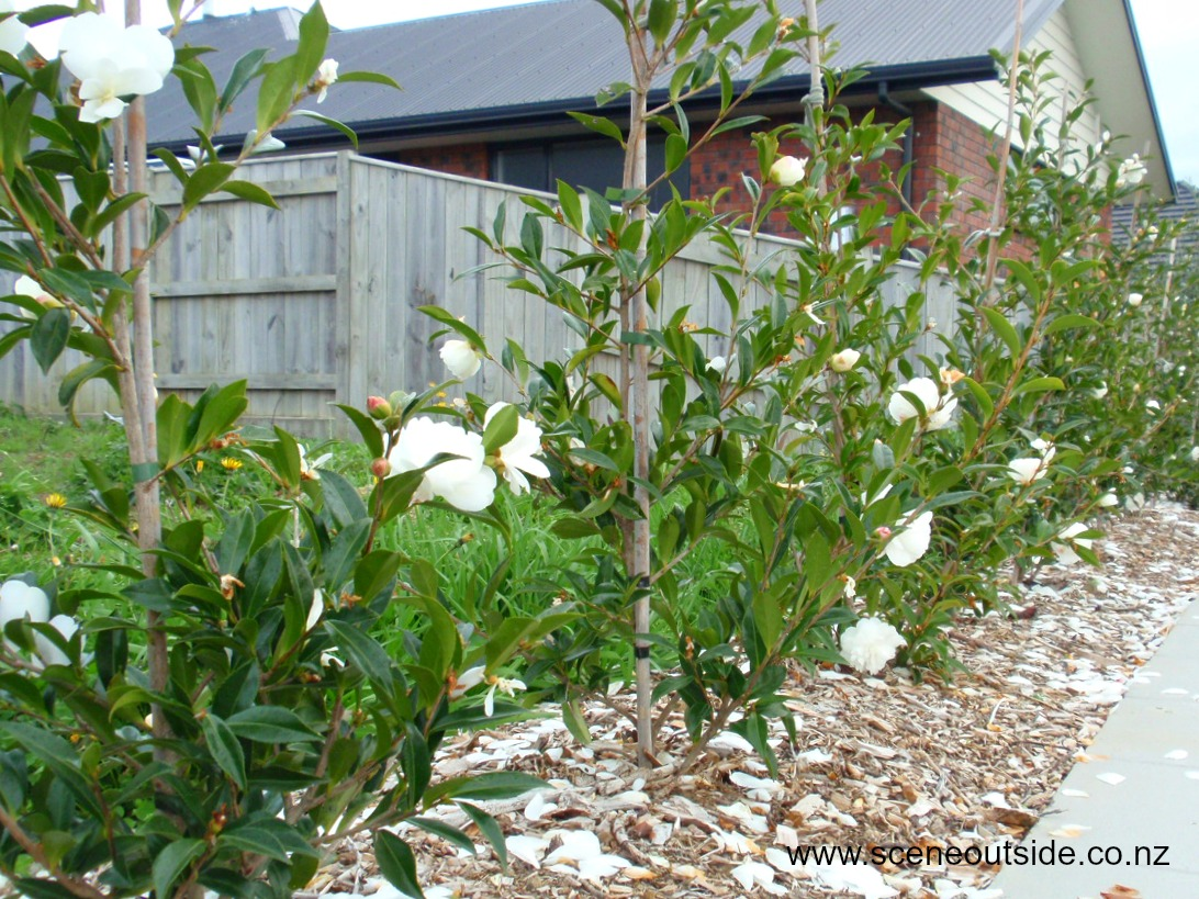 camellia-early-pearly-hedge.jpg