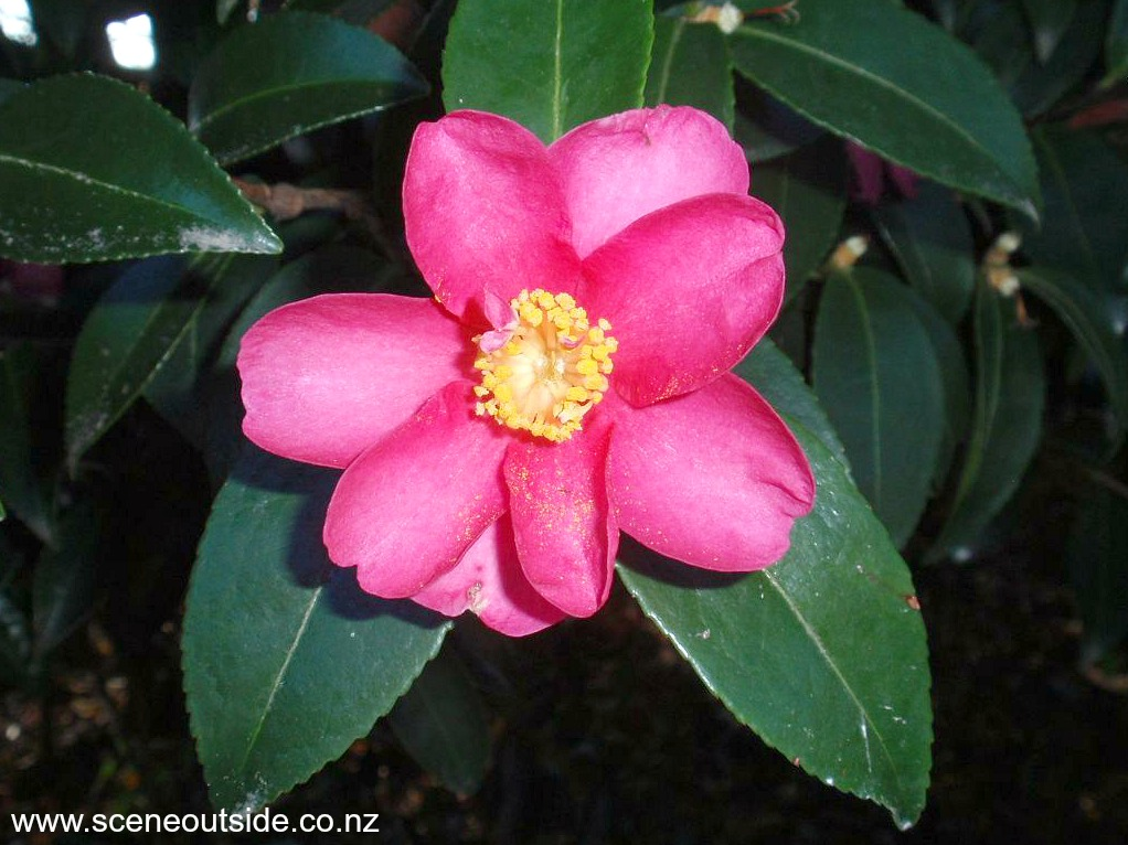 camellia-kanjiro-2.jpg