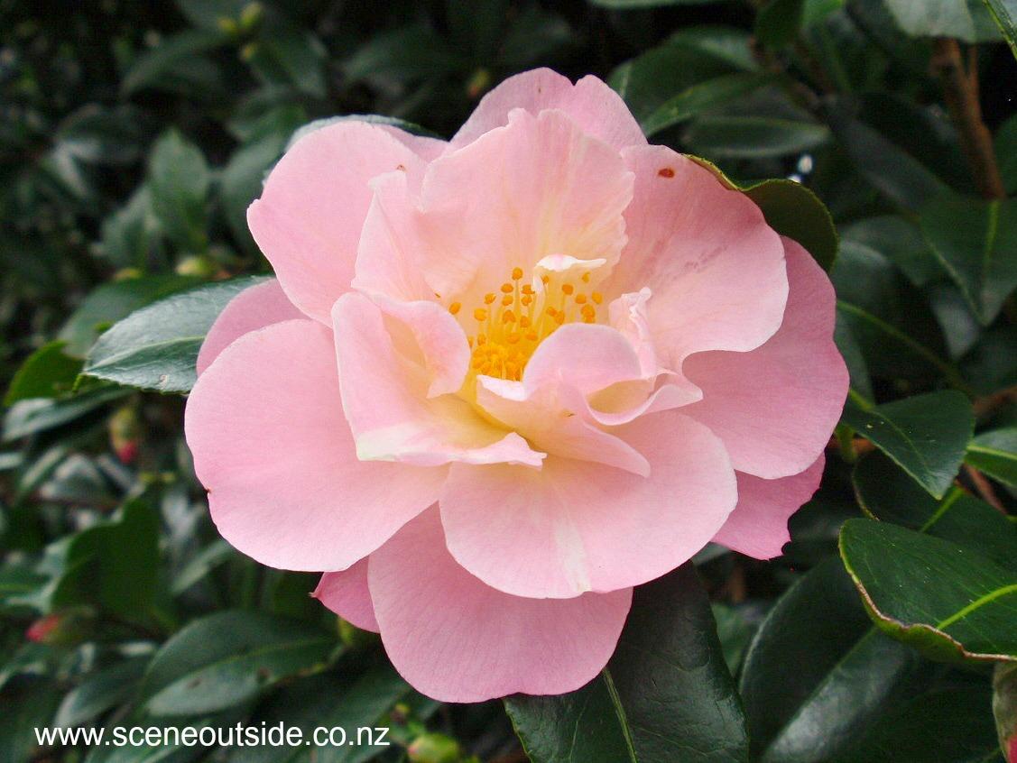 camellia-nicky-crisp.jpg