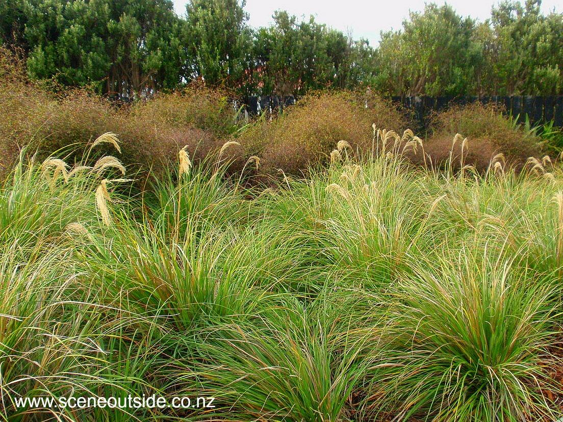About garden design chionochloa flavicans for Landscape design nz