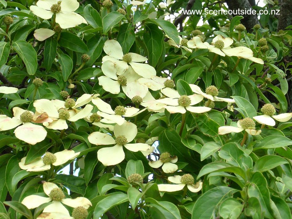 cornus-capitata-flowers.jpg