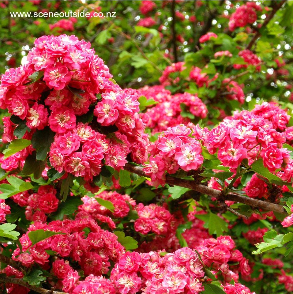 crataegus-paul-scarlet.jpg