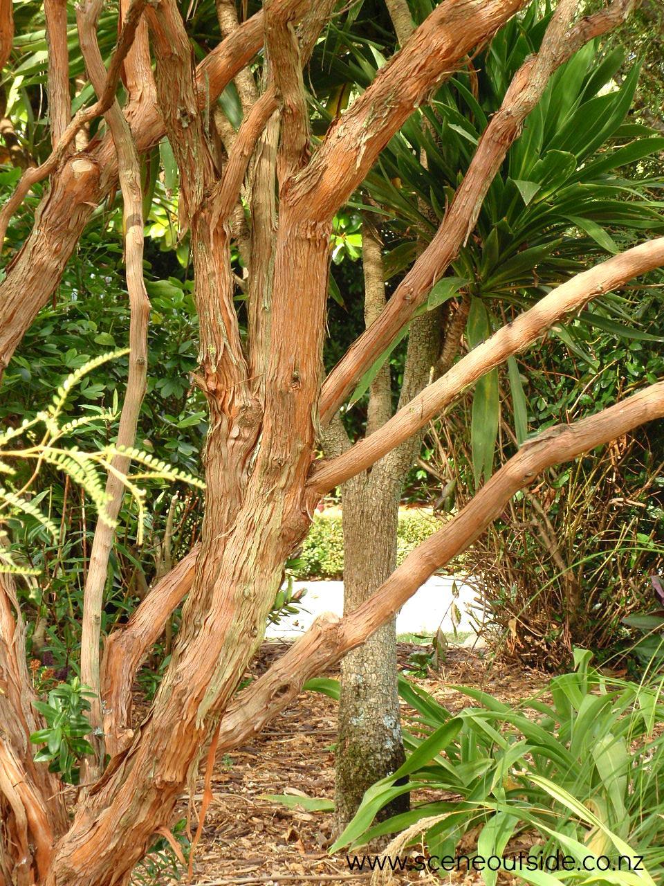 dodonaea-viscosa-2.jpg