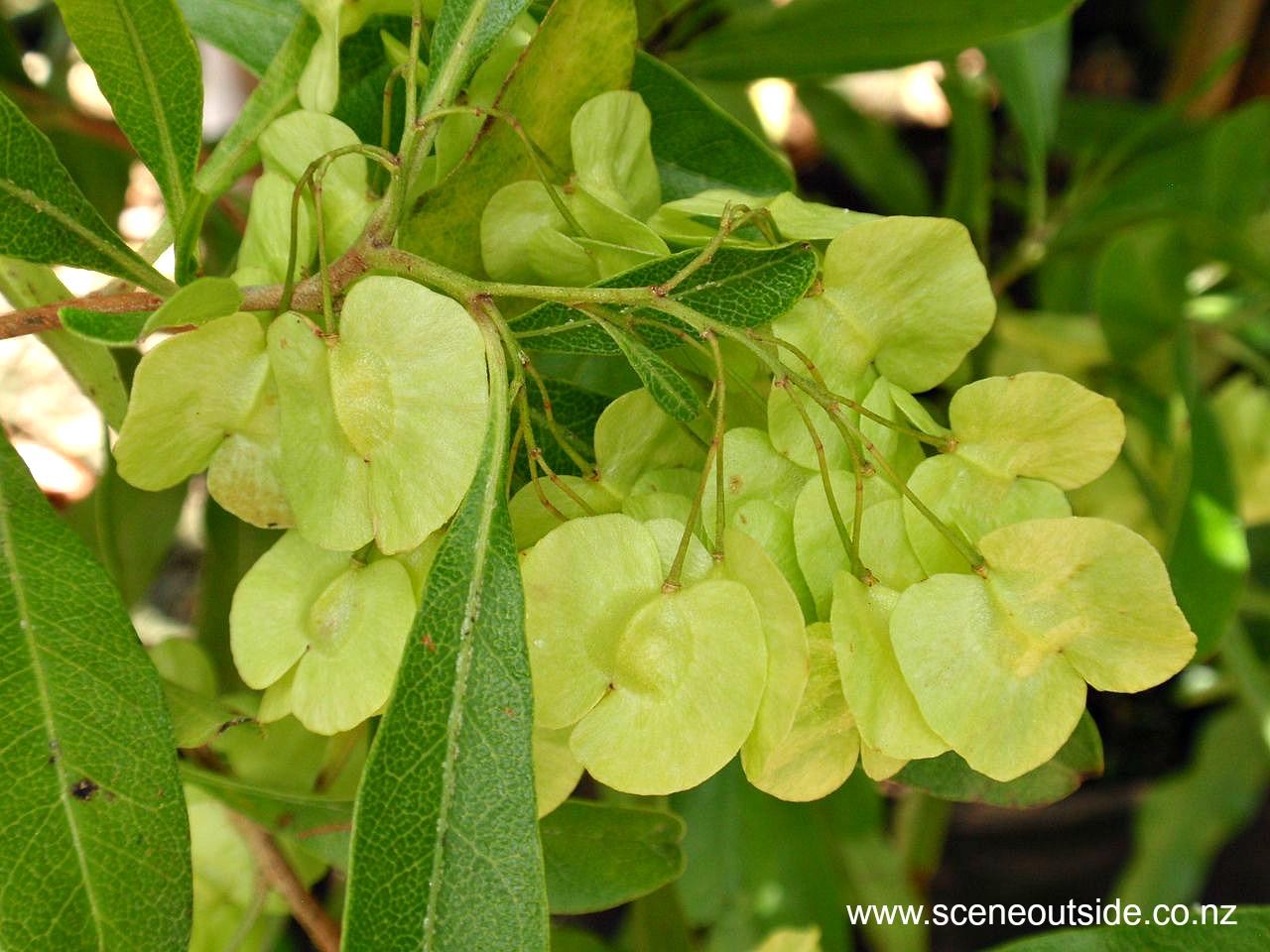 dodonaea-viscosa-seed-capsules.jpg