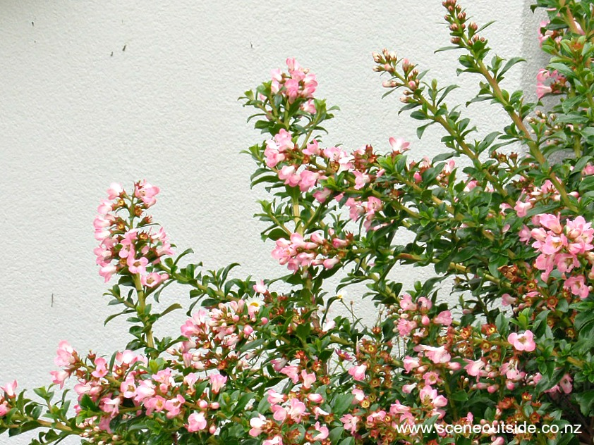 escallonia-apple-blossom-1.jpg