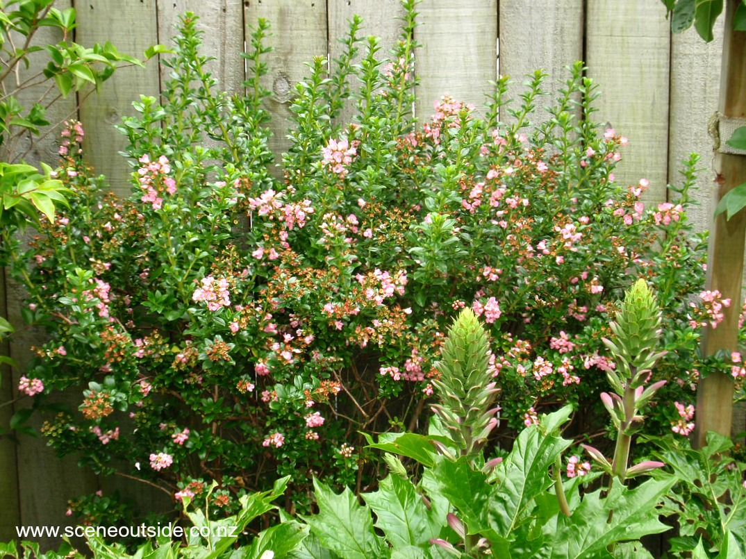 escallonia-apple-blossom-2.jpg