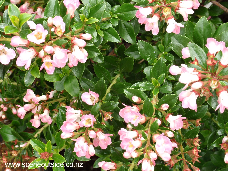 escallonia-apple-blossom-3.jpg