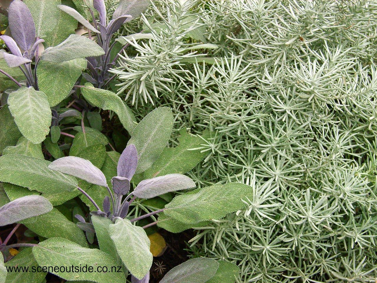 helichrysum-italicum-salvia.jpg