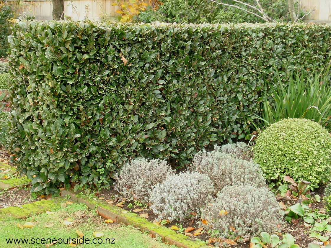 laurus-nobilis-hedge.jpg