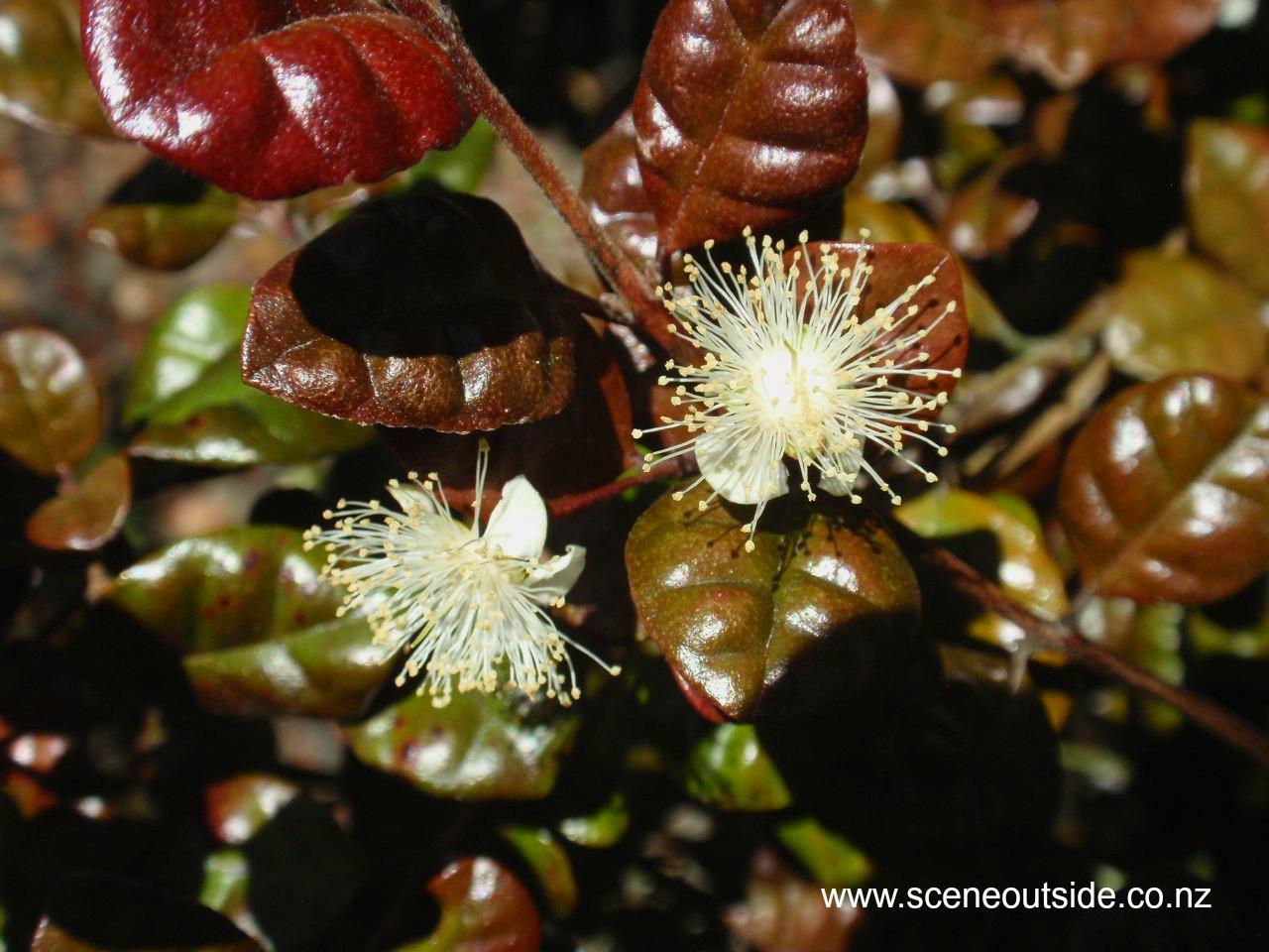 lophomyrtus-kathryn-flowers.jpg
