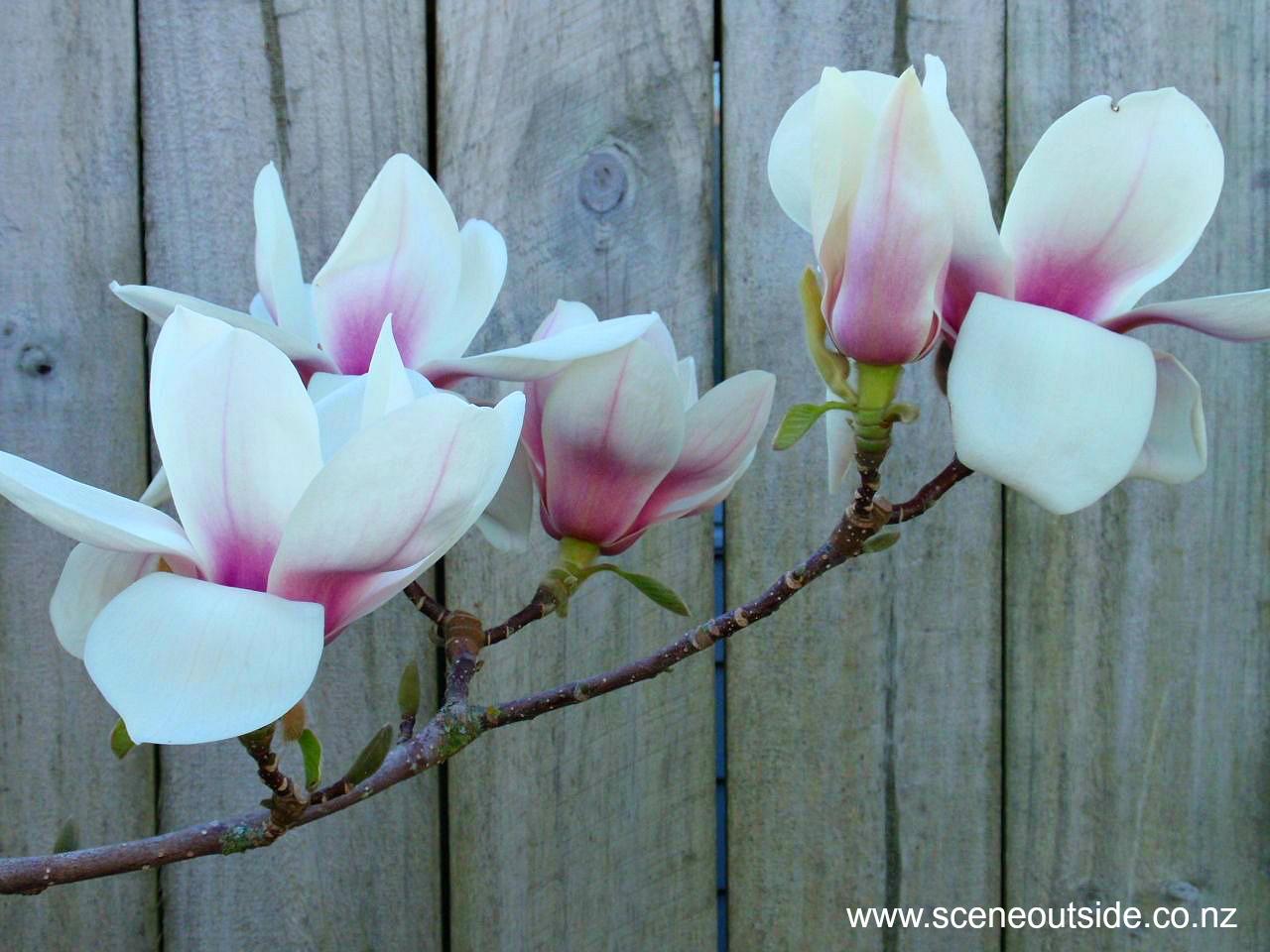 About Garden Design Magnolia Athene