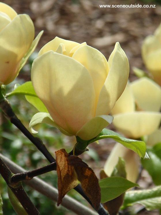 About Garden Design Magnolia Honey Tulip