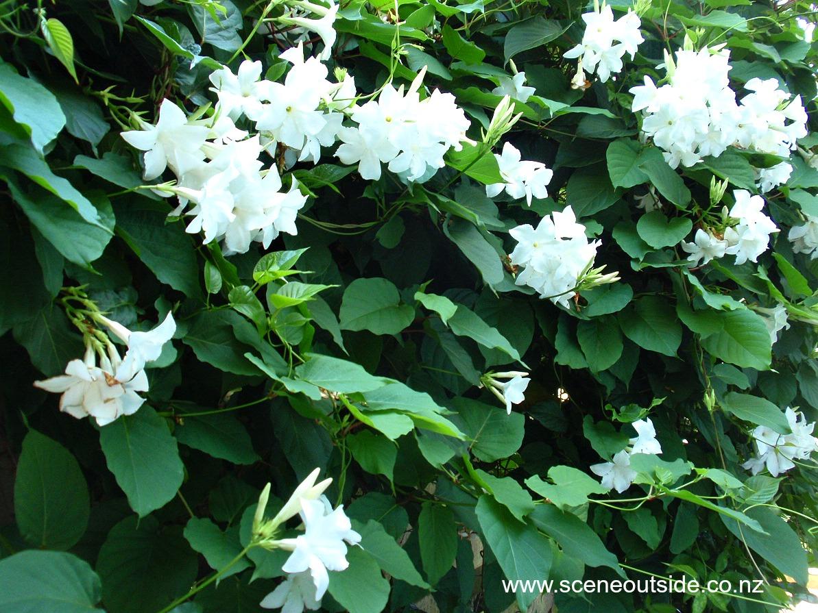 About garden design mandevilla laxa for Plant de villa