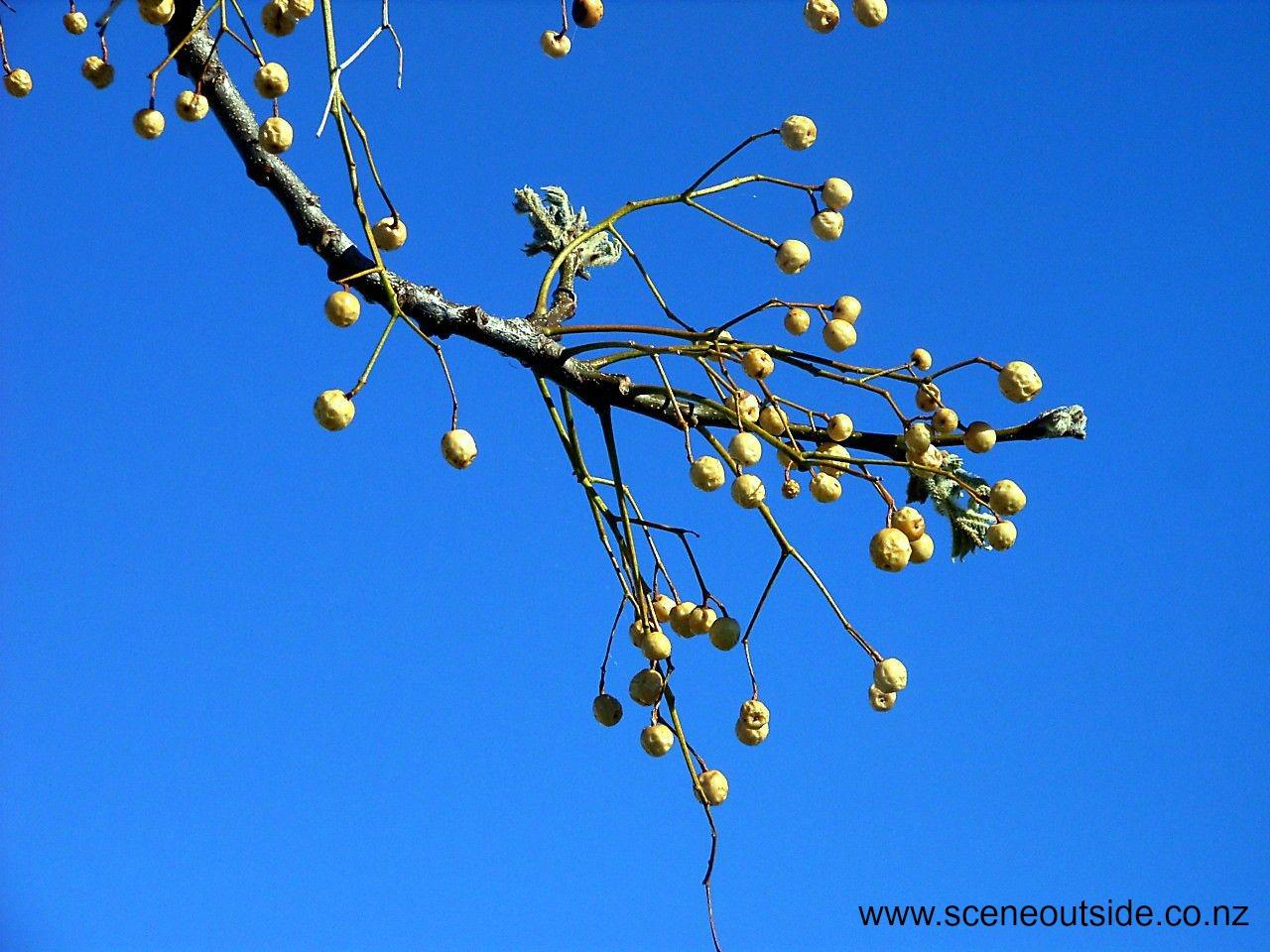 melia-azedarach-fruit.jpg