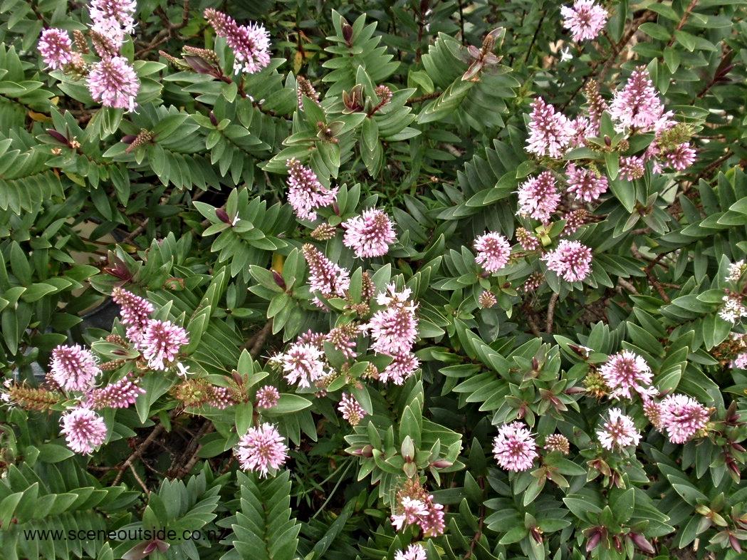 hebe-pretty-in-pink-flowers.jpg