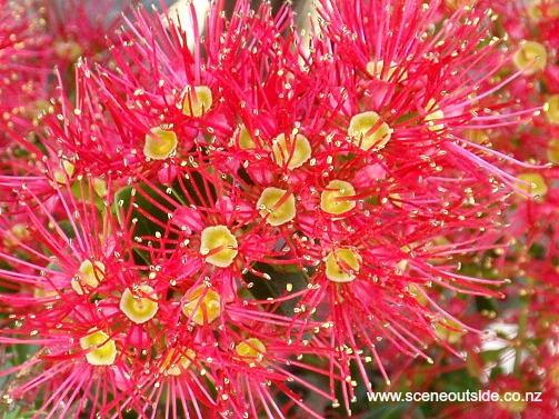 metrosideros-carminea-flowers.jpg