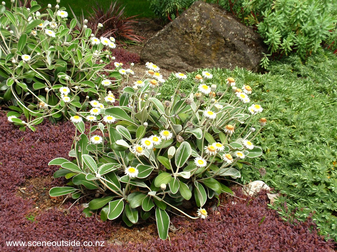Pachystegia insignis for New garden plants