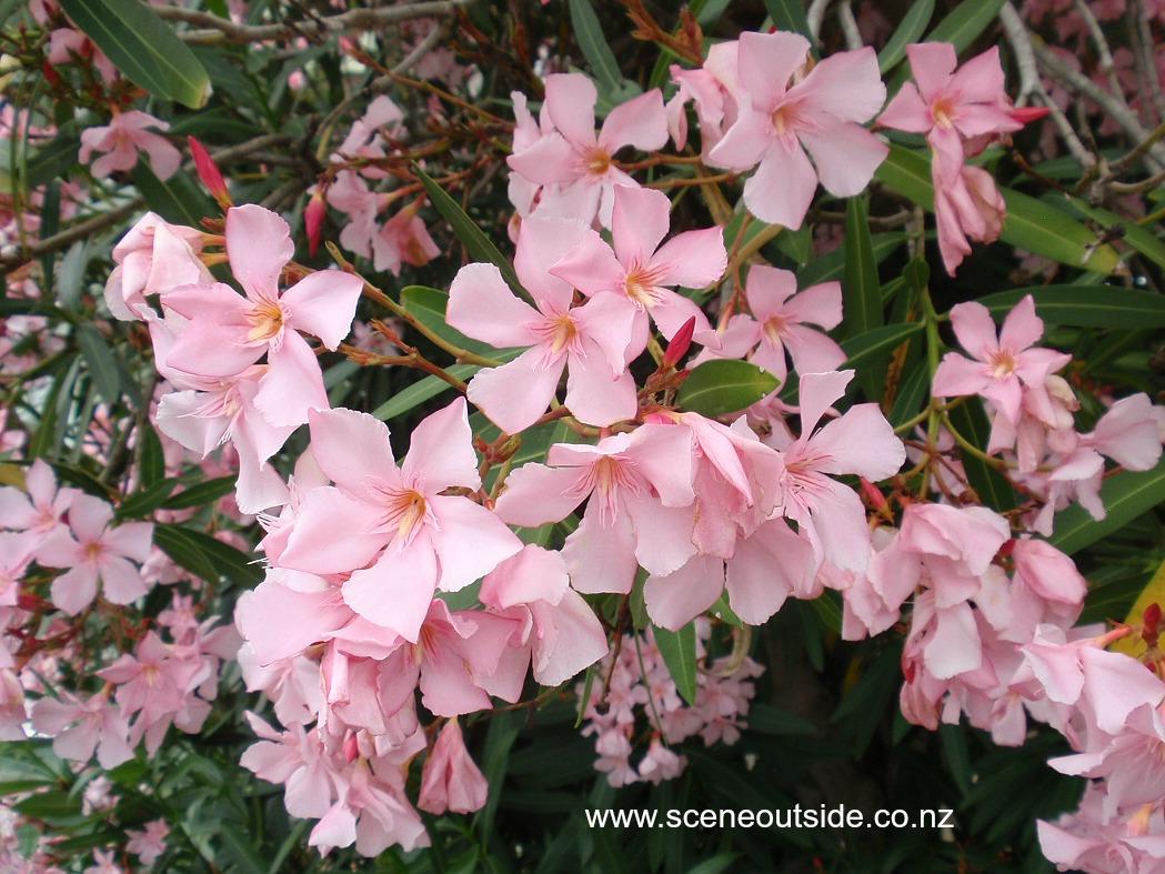 about garden design nerium oleander. Black Bedroom Furniture Sets. Home Design Ideas