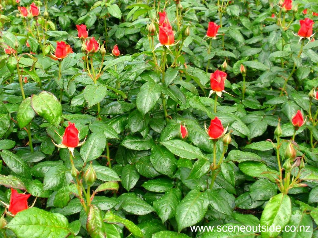 rosa-fellowship-buds.jpg