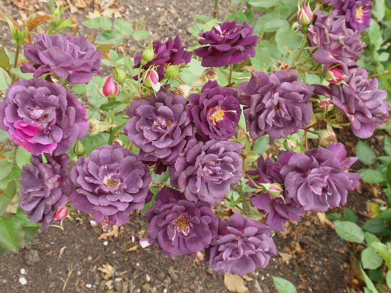 rosa-midnight-blue-2.jpg