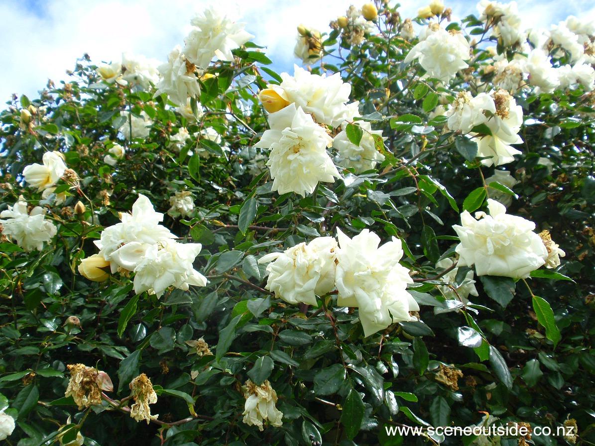 rosa-alberic-barbier-1.jpg