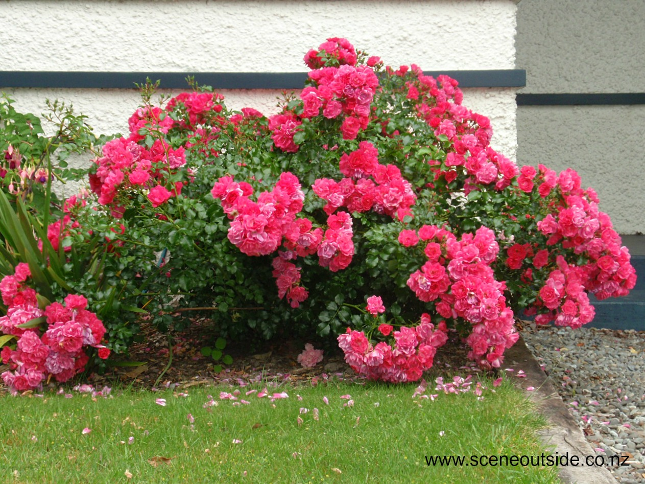About Garden Design Rosa Flower Carpet Pink