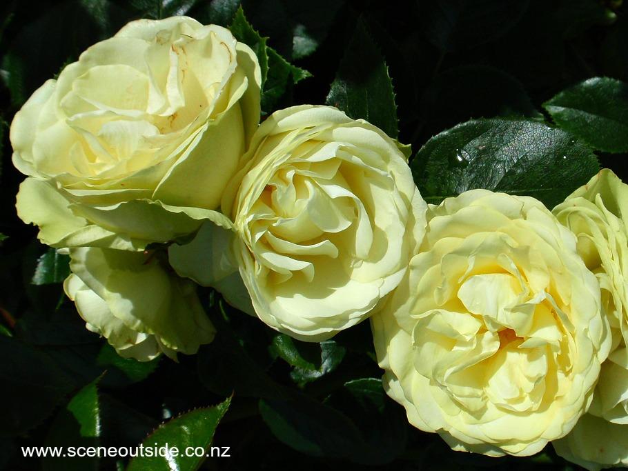rosa-lemon-n-lime-1.jpg
