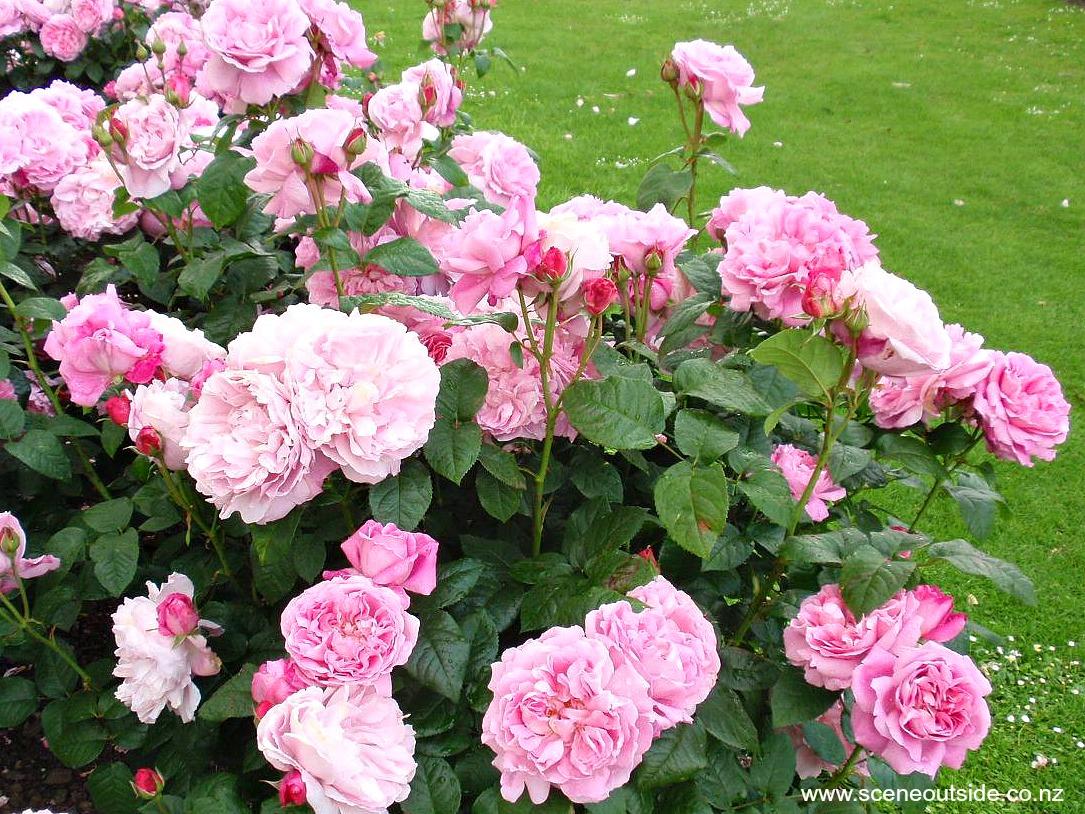 about garden design rosa 39 mary rose 39. Black Bedroom Furniture Sets. Home Design Ideas