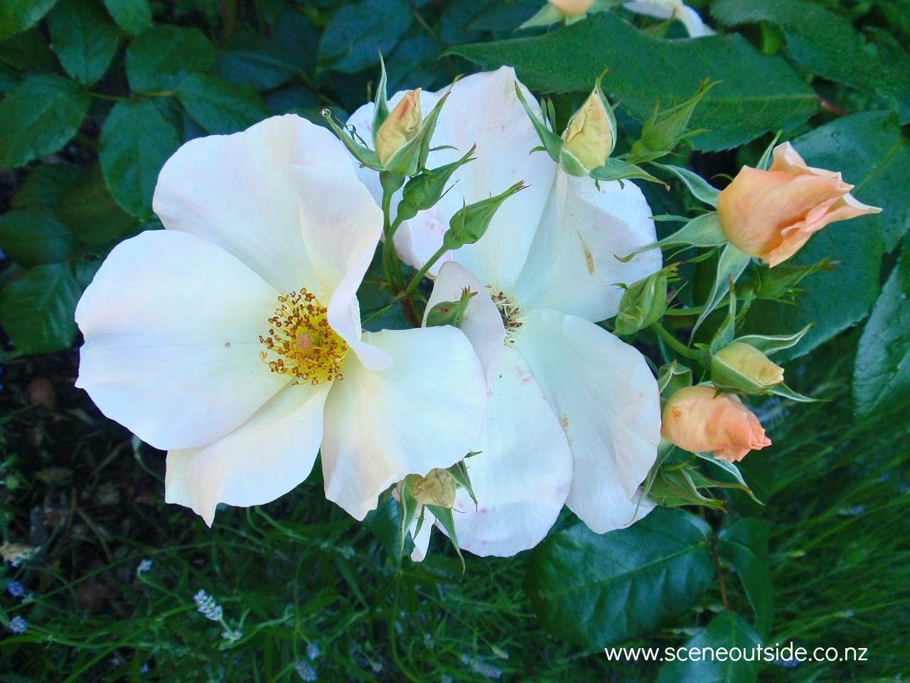 rosa-sally-holmes.jpg