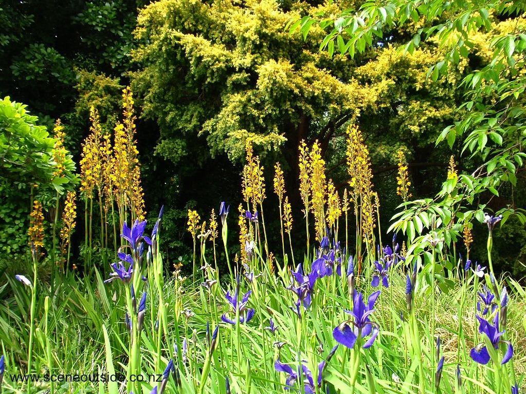 iris-wachendorfia-thyrsiflora.jpg