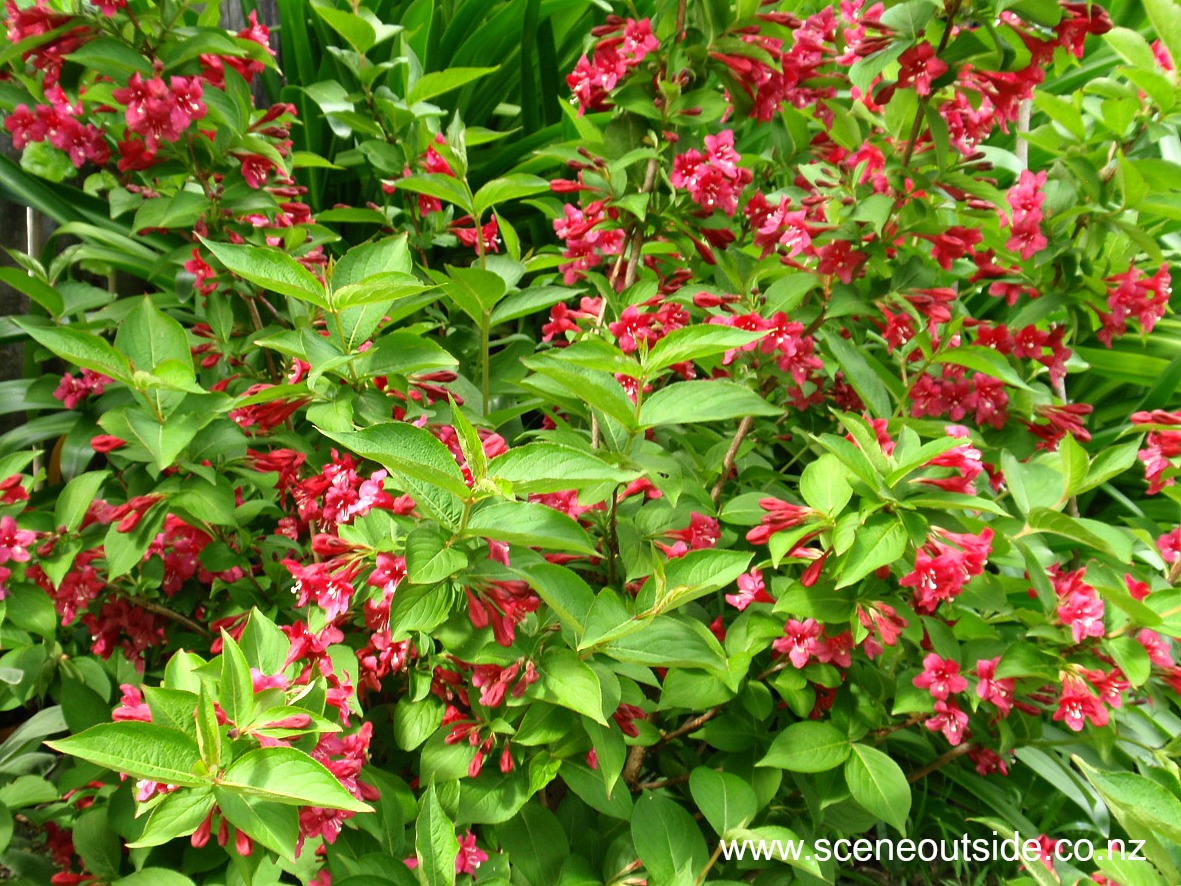About Garden Design Weigela Newport Red