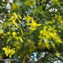 acacia-baileyana-2.jpg