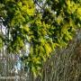 acacia-baileyana.jpg