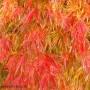 acer-autumn.jpg