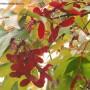 acer-palmatum-osakazuki.jpg