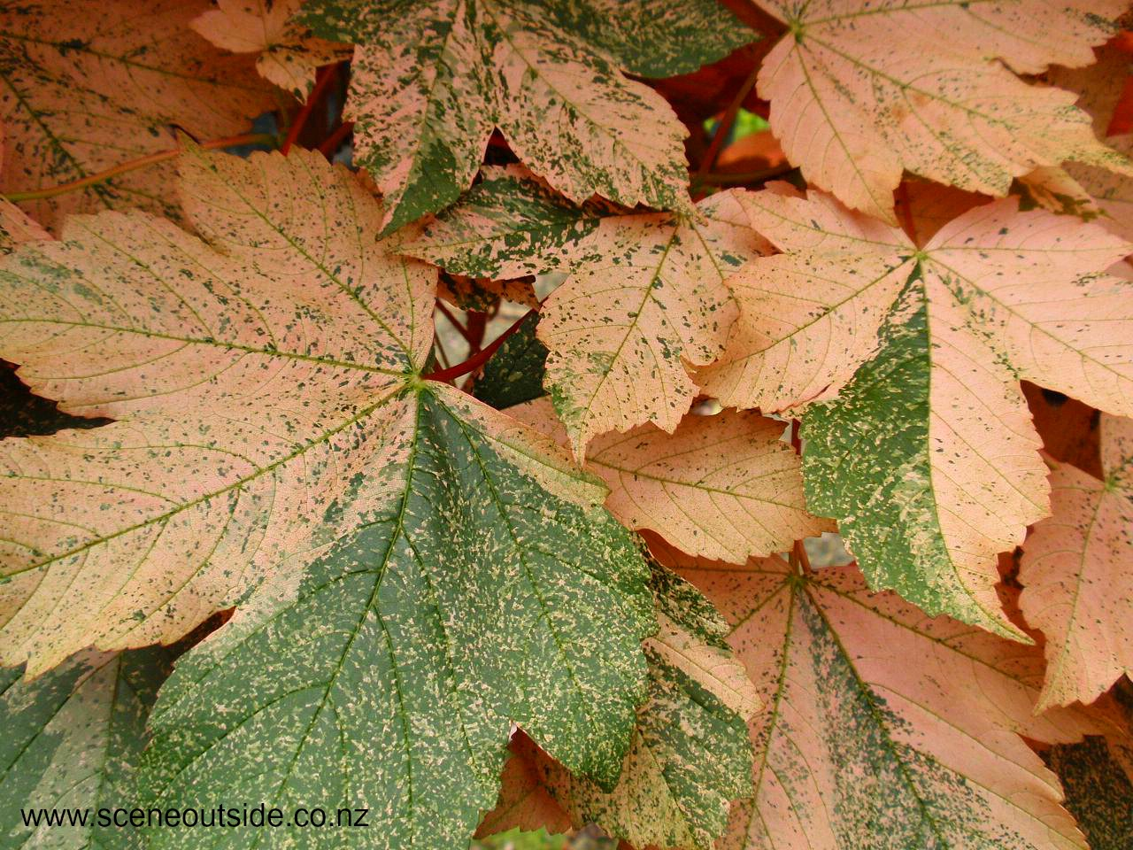 Foliage colour
