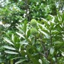 agathis-australis.JPG