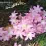 amaryllis-belladonna-1.jpg