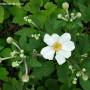 anemone-hybrida-honorine-jobert.jpg