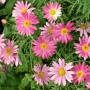 argyranthemum-double-act-1.jpg