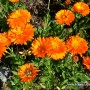 calendula-officinalis-1.jpg