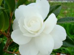 camellia-early-pearly