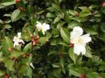 camellia-fairy-blush