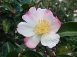 camellia-gay-border