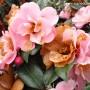 camellia-nicky-crisp-2.jpg