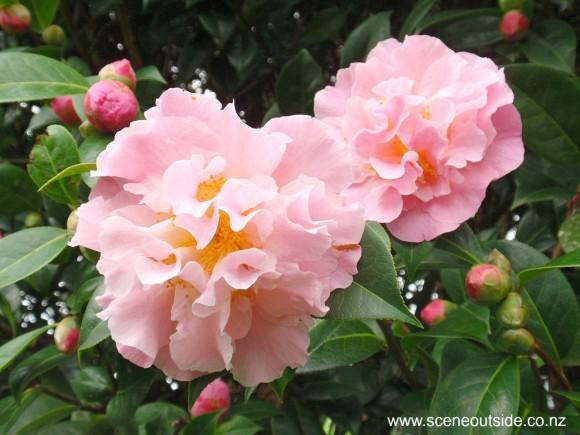 camellia-nonie-haydon